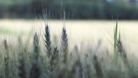 大麦域金黄麦子 图库摄影