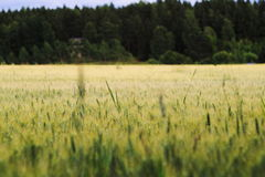 大麦域金黄麦子 免版税库存图片