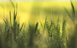 大麦域金黄麦子 免版税图库摄影