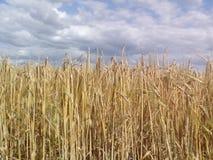 大麦域金黄麦子 免版税库存照片
