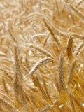 大麦域 库存图片