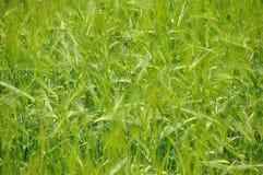 大麦域 免版税库存图片