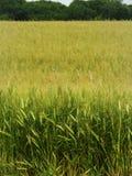 大麦工艺啤酒贸易的庄稼领域在Finger湖NYS 库存图片