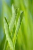 大麦幼木 库存照片