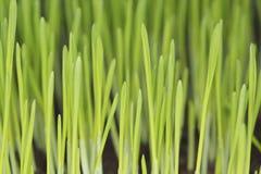 大麦幼木 库存图片