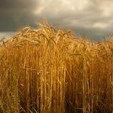 大麦庄稼在林肯郡,英国 免版税图库摄影