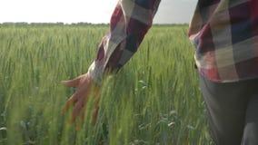 大麦庄稼,上面的农夫手接触绿色植物关闭在走在领域的美丽的种植园中期间  股票视频