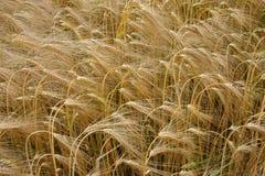 大麦成熟 库存照片