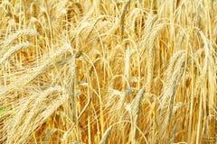 大麦接近的域 图库摄影