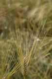 大麦接近的域 免版税库存照片
