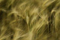 大麦摘要 库存图片