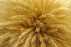 大麦收获了 库存图片