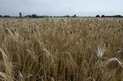 大麦收获 库存图片