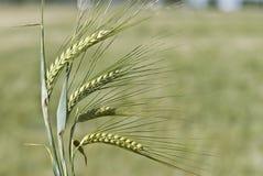 大麦有些峰值 库存图片