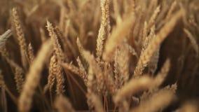大麦植物的黄色成熟耳朵摇摆由在麦田的风的 收获,自然,农业,收获概念 股票录像