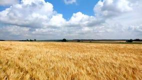 大麦植物的黄色成熟耳朵摇摆由在麦田的风的 收获,自然,农业,收获概念 影视素材