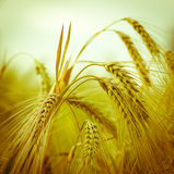 大麦燕麦黑麦 库存图片