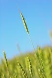 大麦特写镜头麦子 免版税库存照片