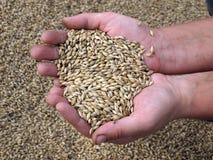 大麦玉米 图库摄影