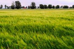 大麦生长在与风和长的曝光弄脏的五谷的耳朵的领域的大麦属vulgare 农村乡下的横向 免版税库存图片
