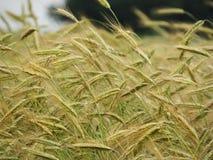 大麦生长在NYS FingerLakes的田地庄稼 免版税图库摄影