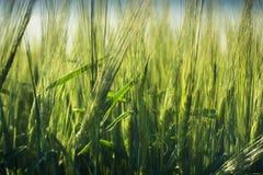 大麦的不成熟小尖峰酿造的反对天空 库存照片