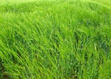 大麦的域 库存照片