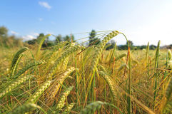 大麦的域 免版税库存图片