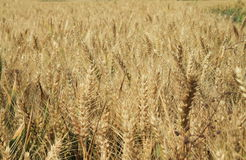 大麦的域 库存图片