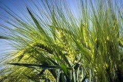 大麦的多刺耳朵在领域边缘的从风摇摆 库存照片