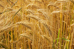 从大麦的特写镜头在领域 免版税图库摄影