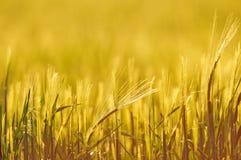 大麦的由后面照的领域,关闭,浅景深 库存照片