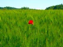 大麦的美好的绿色领域与红色鸦片的在中部,天空蔚蓝,采取在瑞士 免版税库存照片