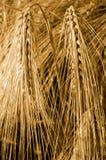 大麦的耳朵的特写镜头 啤酒的原材料 图库摄影