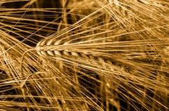 大麦的耳朵的特写镜头 大麦细节 库存照片