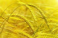 大麦的耳朵 库存照片