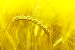 大麦的耳朵 免版税图库摄影