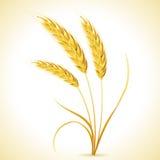 大麦的耳朵 免版税库存图片