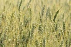 大麦的耳朵 免版税库存照片