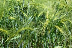 大麦的领域与大麦耳朵的 免版税库存图片
