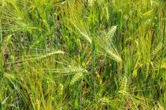 大麦的领域与大麦耳朵的 免版税图库摄影