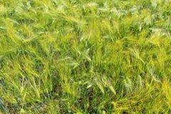 大麦的领域与大麦耳朵的 库存图片
