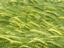 大麦的绿色耳朵 库存图片