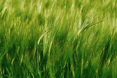 大麦的绿色领域 免版税库存图片