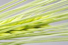 大麦种子 免版税库存图片