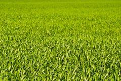 大麦绿色留下麦子 免版税库存图片