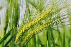 大麦绿色 图库摄影