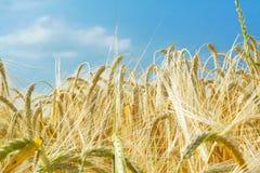 大麦耳朵被研的查阅 免版税库存图片