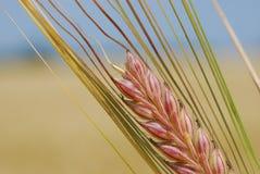 大麦耳朵 免版税库存图片