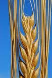 大麦耳朵 免版税图库摄影